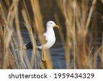 European Herring Gull On The...