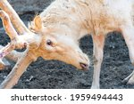 White Old Deer Close Up. A...