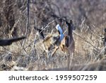 Young White Tailed Dear In The...