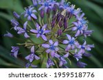 Purple Orchostem Flowers In A...