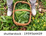 Harvested Ramson Leaves In...