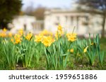 Daffodils In Front Of The...