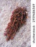 Sedum Anglicum In Spring Is...