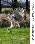 A Great Spotted Eagle Owl In...