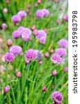 Small photo of Flower heads of the Allium schoenoprasum.