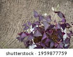 A Beautiful Oxalis Plant With...