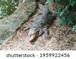 Crocodile Sunbathing On The...