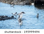 gentoo penguin  pygoscelis... | Shutterstock . vector #195999494