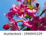 Beautiful Spring Cherry Flower...