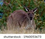 Western Grey Kangaroo  Macropus ...