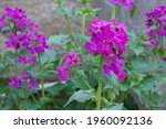 Lunaria Annua   Also Known As...