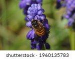 Red Mason Bee  Osmia Rufa ...