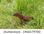 Close Up Of Javan Mongoose Or...