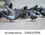 Hungry Feral Pigeons   Columba...