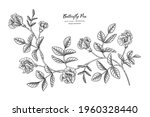 butterfly peas flower and leaf... | Shutterstock .eps vector #1960328440