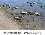 Multiple Canada Goose...