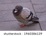 Closeup Of Gray Pigeon Bird...