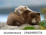 Two Bears Lie On Top Of Each...