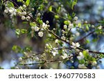 Small photo of Close up of flowering branches of mirabelle plums, also known as mirabelle prunes (Prunus domestica subspecies syriaca). Poland, Europe