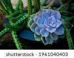 Echeverias Flower And Cactus In ...