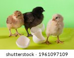 Little Cute Colorful Chickens...