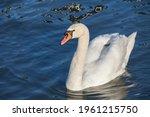 Closeup On A Swan  A Headshot...