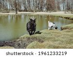 a black goat with a small white goat drinks water from a small lake in early spring