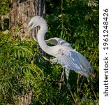 Great Egret Comes In For A...