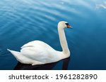 A White Majestic Swan Floats In ...
