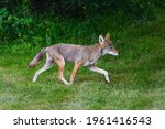 A Wild Coyote Moves Across The...