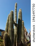 A Natural View Of Tall Cactus...