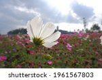 Cosmos Bipinnatus  Commonly...