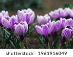 Purple Crocus Flowers In Spring....