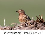 The Red Throated Pipit  Anthus...