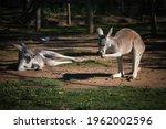 Kangaroo In The Park In...