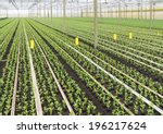 cultivation of young plants in... | Shutterstock . vector #196217624