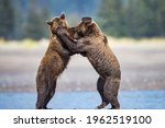 Two Bears Fighting Each Other