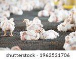 Arbor Acres White Chickens Are...