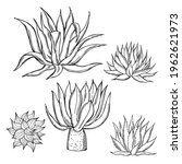 Hand Drawn Agave On White...