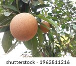 Sapodilla Fruit In The Garden.