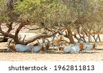 Antelope Scimitar Horn Oryx ...