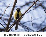 A Bright Tit Sits On A Bare...