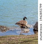 Canada Goose Stands On One Foot ...