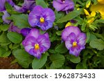 Violet Pansy Flowers In The...