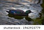 A beautiful colorful wild duck, Cayuga duck, mallard, natural habitat, peck, turquoise, breed, breeding, water birds, dark colour, green head, drinking, purple, violet, ornament, reflection, mandarine