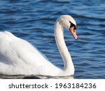A Close Up Of A Mute Swan ...