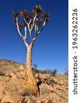 Quiver Tree  Aloe Dichotoma  ...