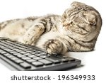 Stock photo serious striped cat scottish fold works lying at the computer and typing on keyboard on isolated 196349933