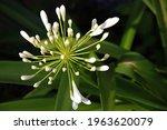 Light On Opening Flower Buds On ...