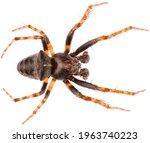 Gibbaranea Bituberculata Is A...